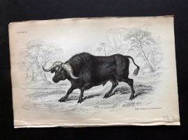 Jardine C1840 Antique Hand Col Print. African Buffalo